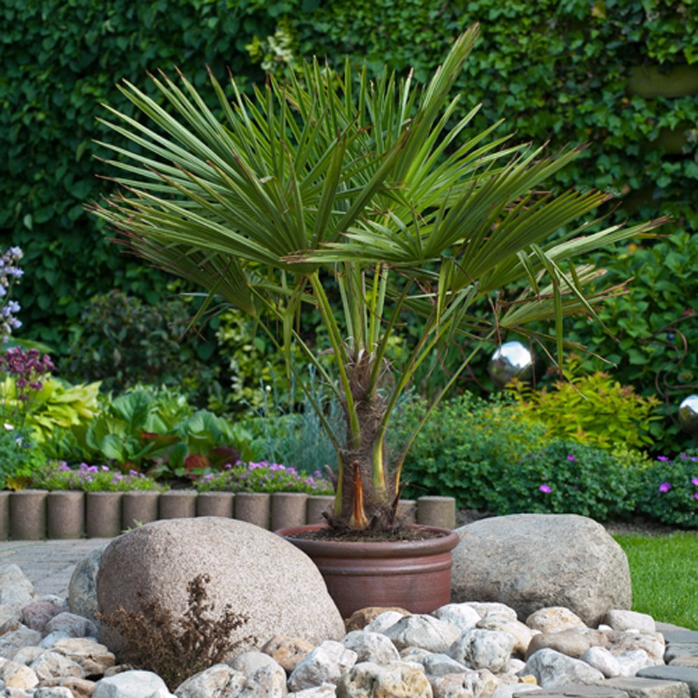 New 80 100cm Tall Hardy Fan Trachycarpus Palm Tree Potted