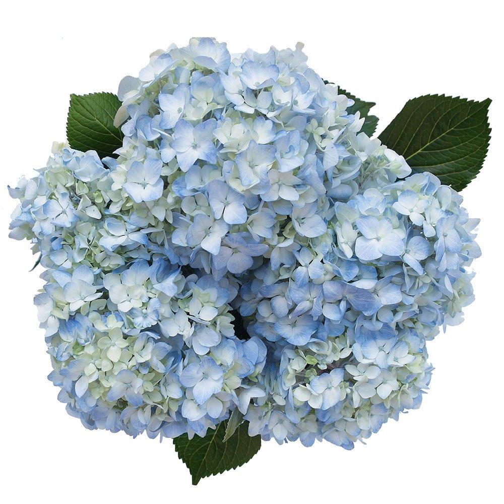 GlobalRose 40 Fresh Cut Blue Hydrangeas - Fresh Flowers For Weddings or Anniversary. by GlobalRose (Image #2)