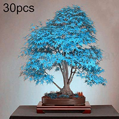wpOP59NE 30Pcs Blue Maple Tree Seeds Ornamental Plant Miniascape Garden Yard Bonsai Decor - Blue Maple Tree Seeds Plant Seeds : Garden & Outdoor