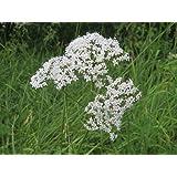 Asklepios-seeds® - 500 Semillas Valeriana officinalis Valeriana, valeriana común, valeriana de