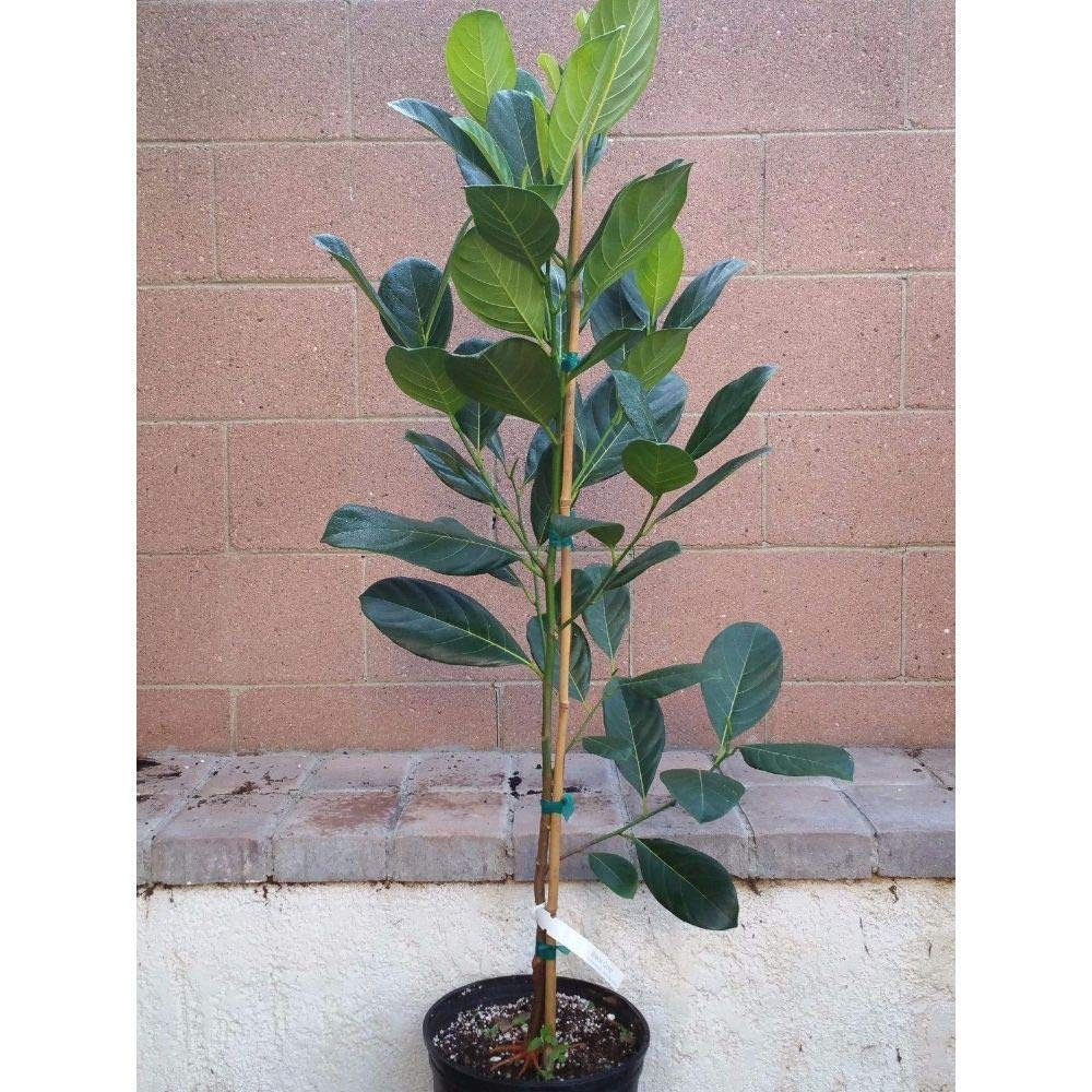 Jackfruit Tropical Fruit Trees 3-4 Feet Height in 3 Gallon Pot #BS1 by iniloplant (Image #2)