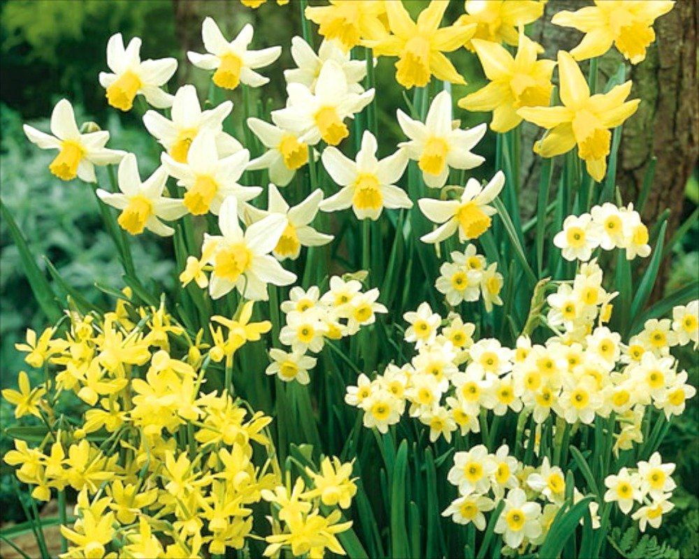 50 Mixed Miniature Daffodil/Narcissus Bulbs Dwarf Special Mixture Perennial Prins
