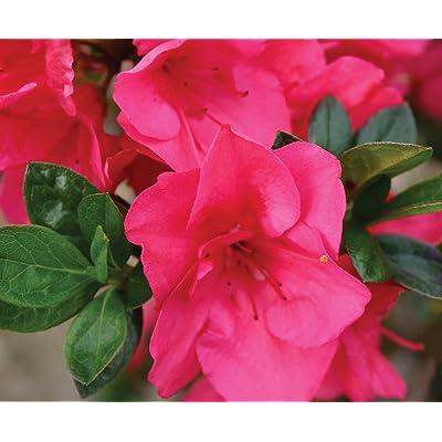 "Hot Pink Bloom-A-Thon Everblooming Azalea - 4"" Pot - Proven Winners : Garden & Outdoor"
