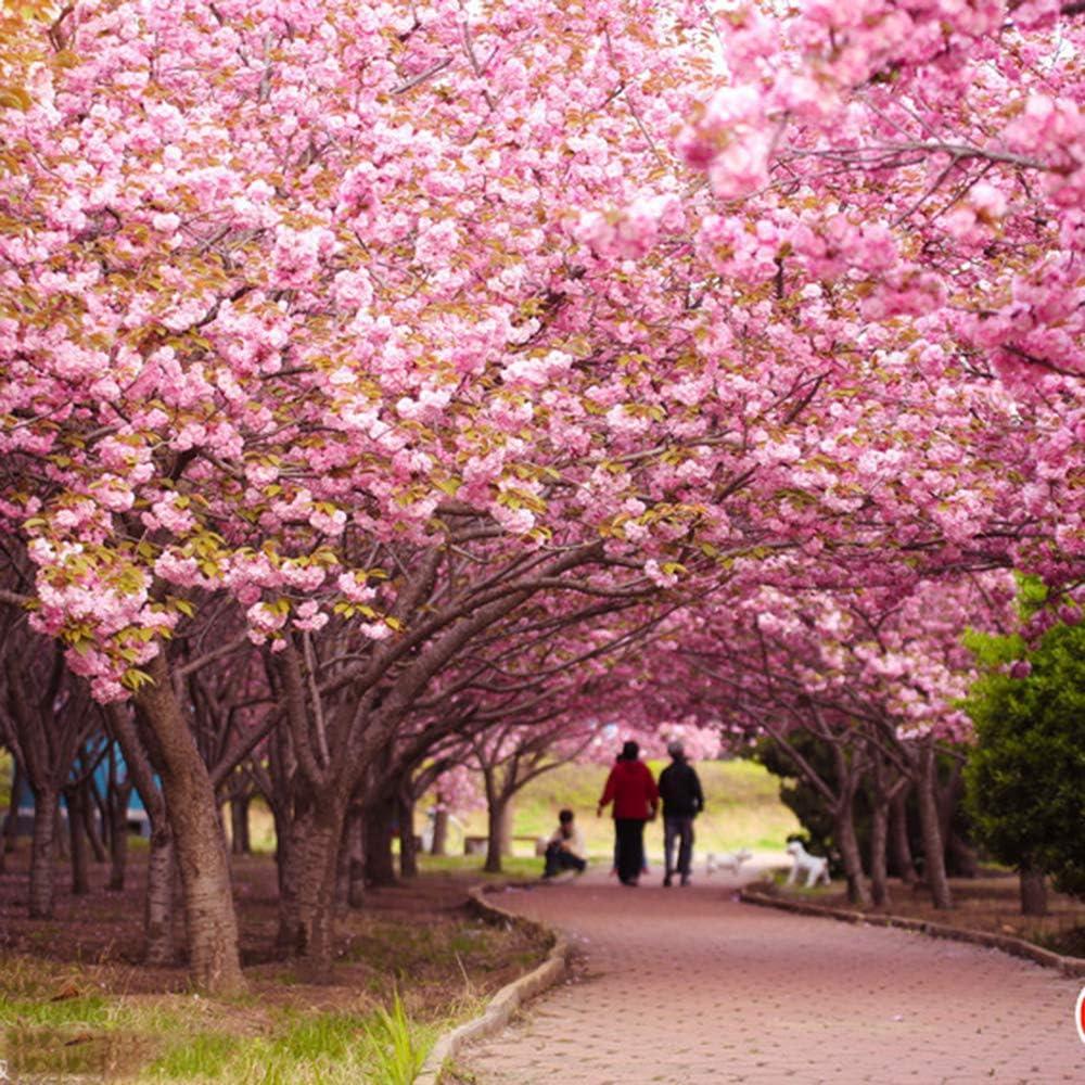Amazon Com 10pcs Sakura Seeds Romantic Pink Japanese Cherry