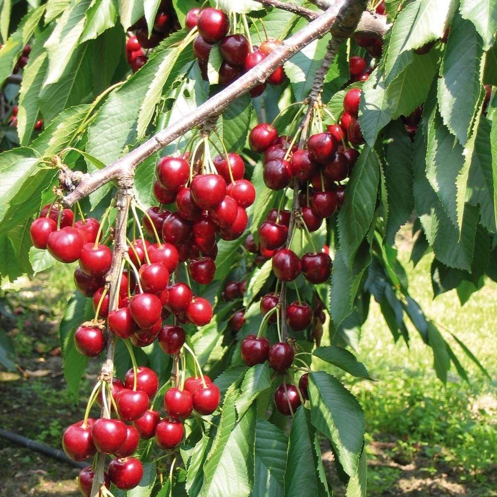 1 Pack 30 Sweet Cherry Seeds Mazzard Cherry Prunus Organic Fruit S022