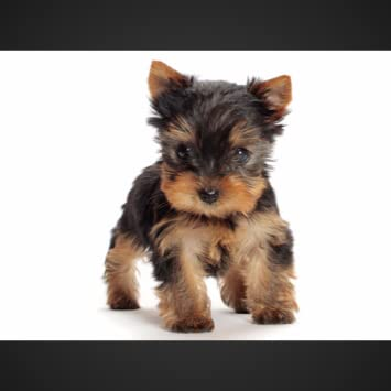 Amazon Com Yorkshire Terrier Wallpapers Hd Appstore For Android