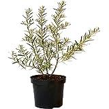 Grüner Garten Shop Askola, weibliche Sanddornpflanze, kräftig gewachsene Pflanze im 5 Liter Topf, ca. 100-120 cm hoch