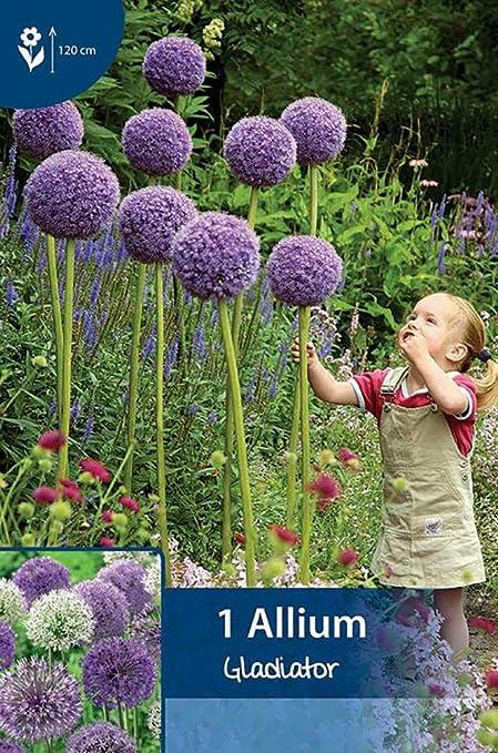 Amazon Com Gladiator Flowering Onion Allium 2 Bulbs Deer Proof