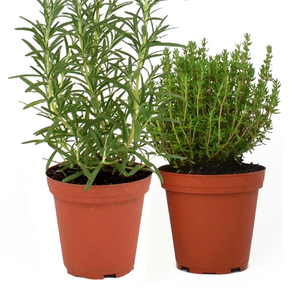 Rosemary & Thyme Plants Set of 2 Organic Non GMO Stargazer Perennials