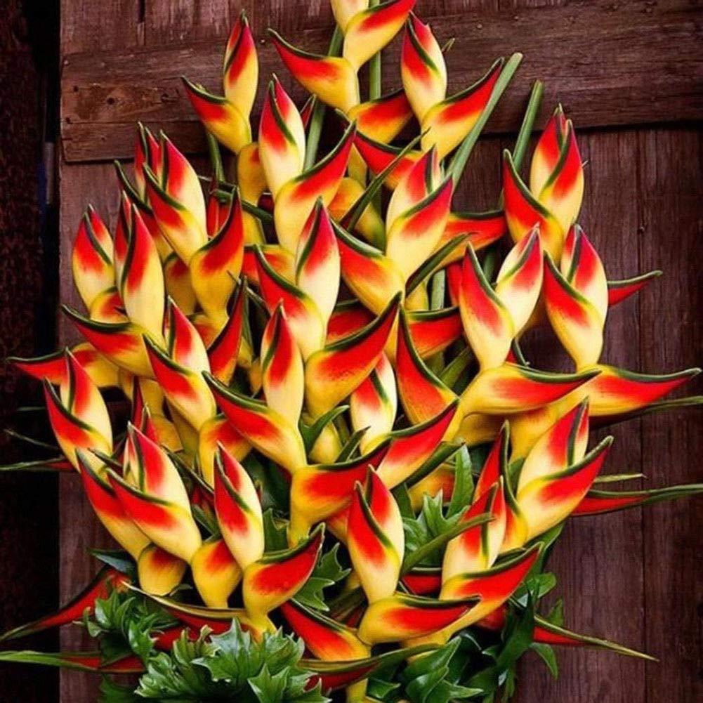 Plantree 50 Unids Rare Heliconia Wagneriana Semillas de Plantas Ornamentales Home Garden Decor Moda Generic