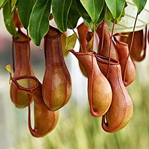 20 Pcs Seeds Nepenthes Seeds | Non-GMO | Tropical Pitcher Plants Seeds for Planting Home Garden, Seeds, Gardeners Choice!