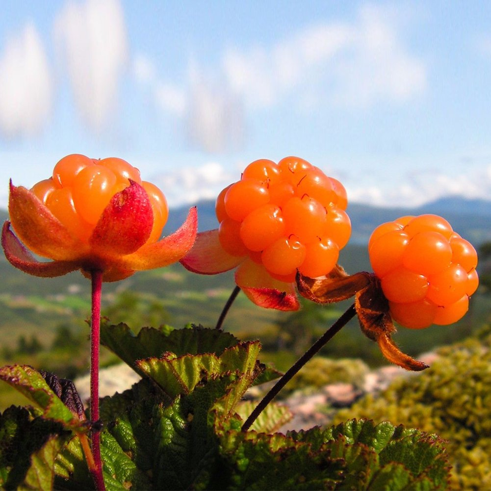 Cloudberry Seeds Rubus Chamaemorus Edible Arctic Berry Fruit Seeds Outdoor Plants 10PCS/Bag Behavetw