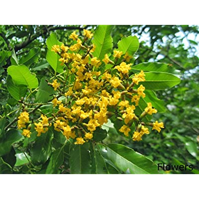 20 Pterocarpus Marsupium Seeds, Indian Kino Tree, Malabar Kino Tree.Kino Tree Seeds : Garden & Outdoor