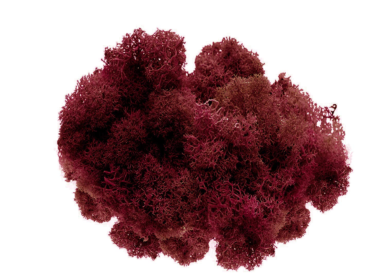 Nautical Crush Trading Reindeer Moss Preserved | Maroon Moss 8 Ounces | for Fairy Gardens, Terrariums, or Any Craft or Floral Project TM