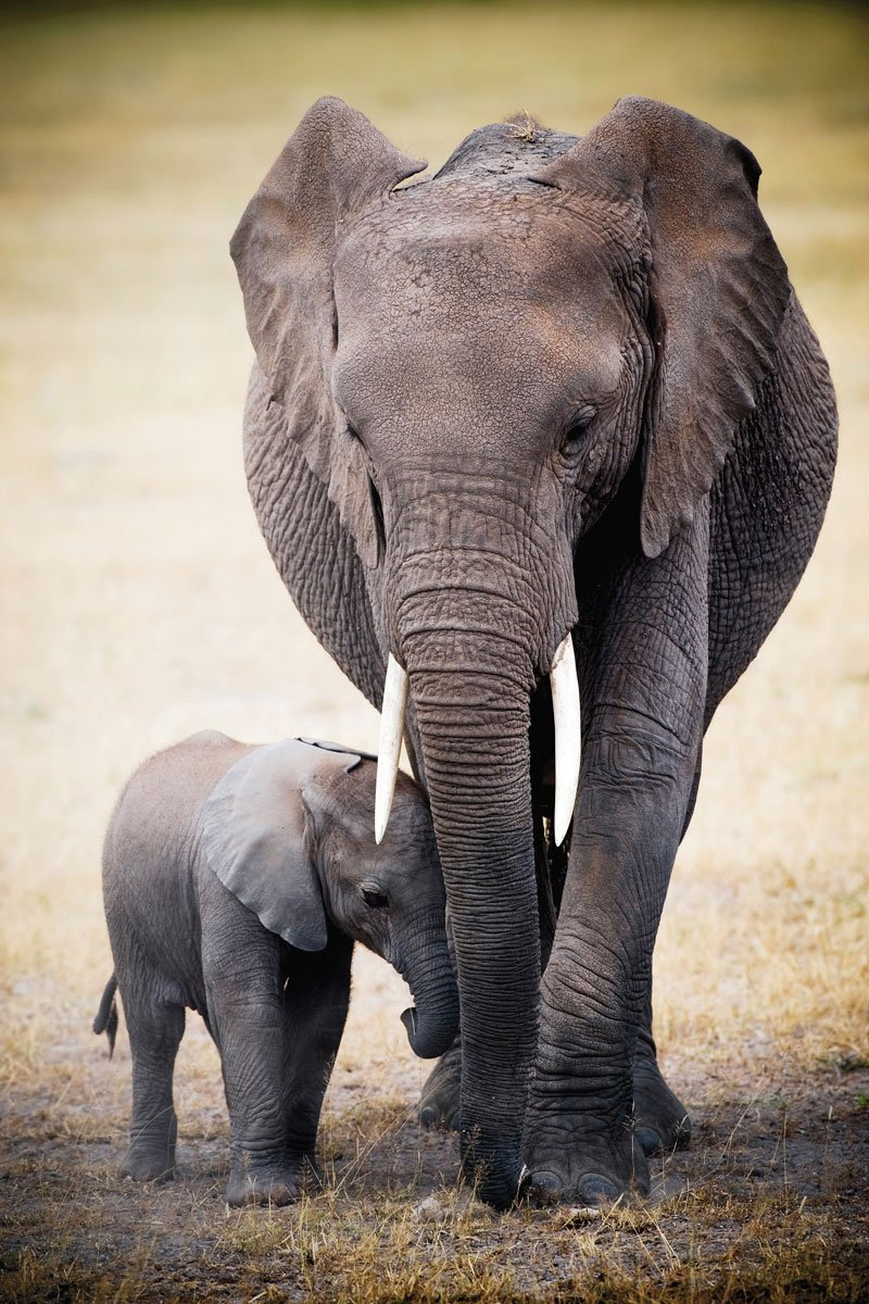 24x36 elephant and baby art print poster