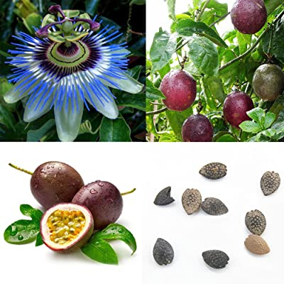 Garden Flower Plant Seeds 40Pcs Tropical Exotic Vine Passion Purple Passiflora Edulis Fruit Plant Seeds : Garden & Outdoor
