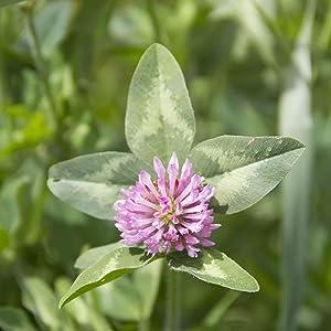 Organic Alsike Clover - 5 LB Bulk ~1,250,000 Seeds - Organic, Open Pollinated, Non-GMO - Farm & Garden Cover Crop & Forage Seeds
