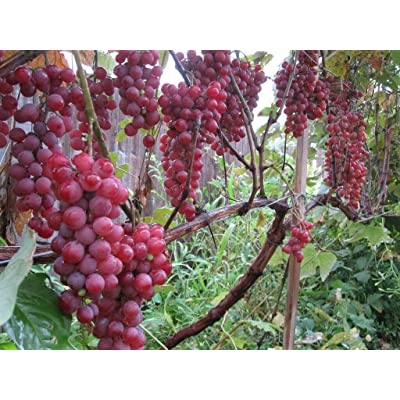 Vanessa Grape Vines - Red Seedless Grapes 2 yr Old Healthy - 3 Bare Root Plants from Grandiosy Farm : Garden & Outdoor