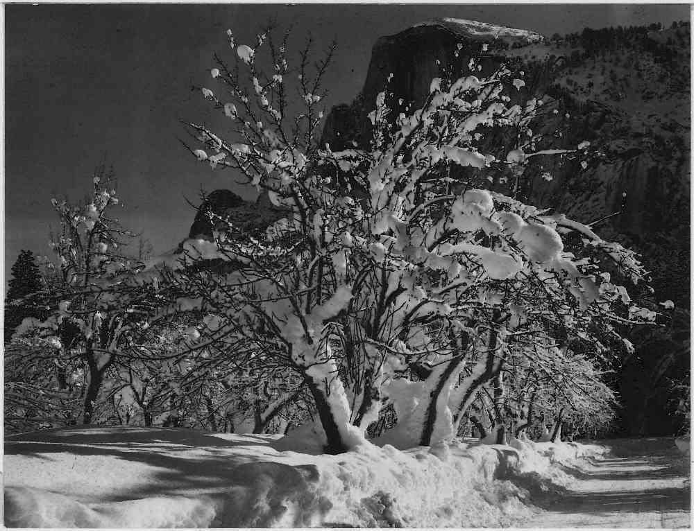The Museum Outlet - Adams - Half Dome, Apple Orchard, Yosemite - Poster Print Online Buy (30 X 40 Inch)