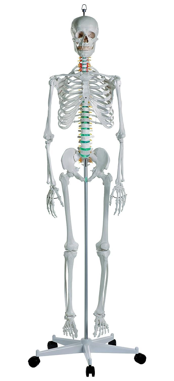 高い品質 ナビス 骨格モデル B00F3VOAHK/8-8311-01 178cm 1個/8-8311-01 骨格モデル B00F3VOAHK, 吉松町:2eb695ef --- a0267596.xsph.ru
