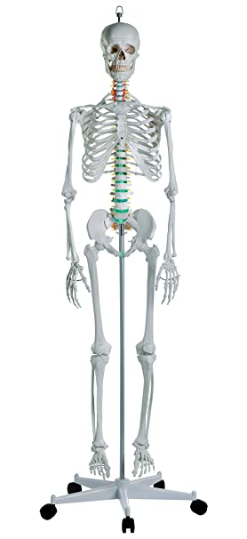 Squelette humain Oscar Erler Zimmer  Amazon.fr  Hygiène et Soins du corps a04e55ca953