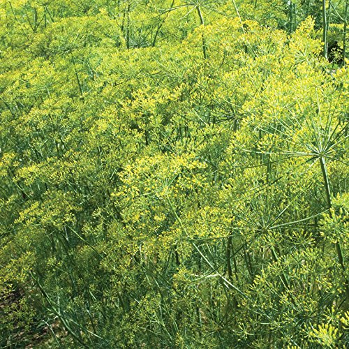 David's Garden Seeds Herb Dill Bouquet SL9243 (Yellow) 500 Non-GMO, Organic, Heirloom, Seeds (Bouquet Dill Seeds)