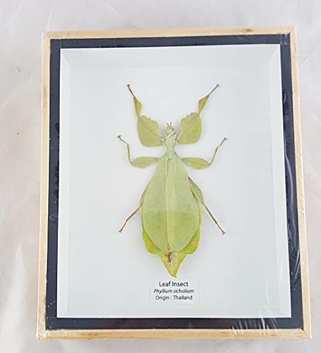 Amazon.com: Angelwing Real Leaf Insect Beetle Bug Green Brown ...