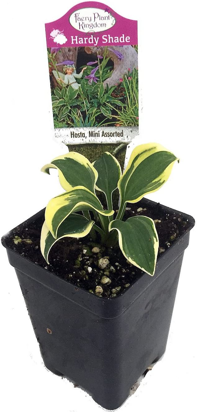 "World's Smallest Hosta - Fairy Garden/Perennial Bedding Plant - 2.5"" Pot"