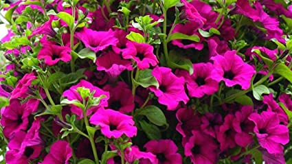 No Petunias Were Harmed In >> Amazon Com Petunia Violet Large Plants Many Small Flowers