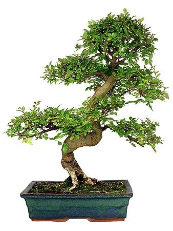 Chinesische Ulme 10 Samen (Ulmus parvifolia) perfekt für Bonsai ...