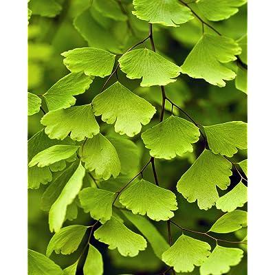 "Live Fritz Maid Fern Plant - Delta Maidenhair Fern Fit 4"" Pot Easy to Grow : Garden & Outdoor"