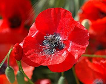 Amazon Red Corn Poppy Flower Seeds Vivid Bulk Garden