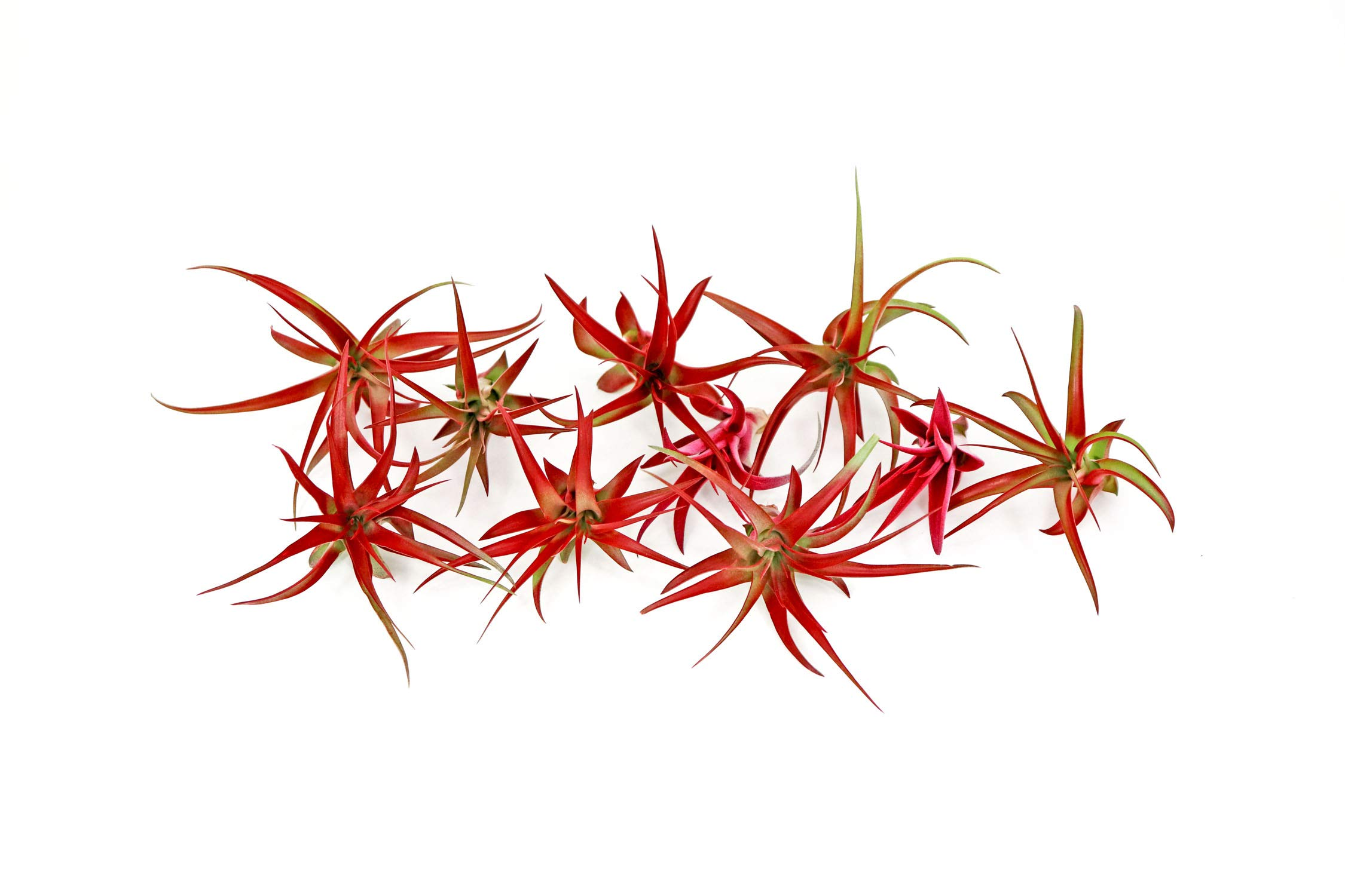 10 Live Air Plants | Bright Red Tillandsia Air Plant Pack | Colorful Indoor Plants | Real Houseplants | Easy Terrarium Decor Kit by Plants for Pets by Plants for Pets (Image #5)