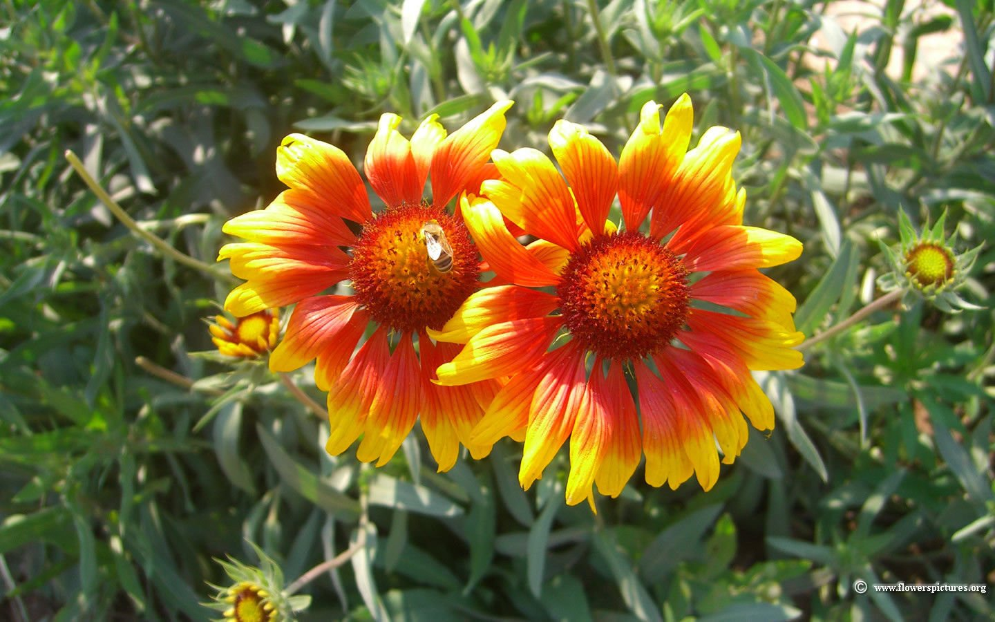 Amazon 200blanket Flower American Native Wildflower Perennial