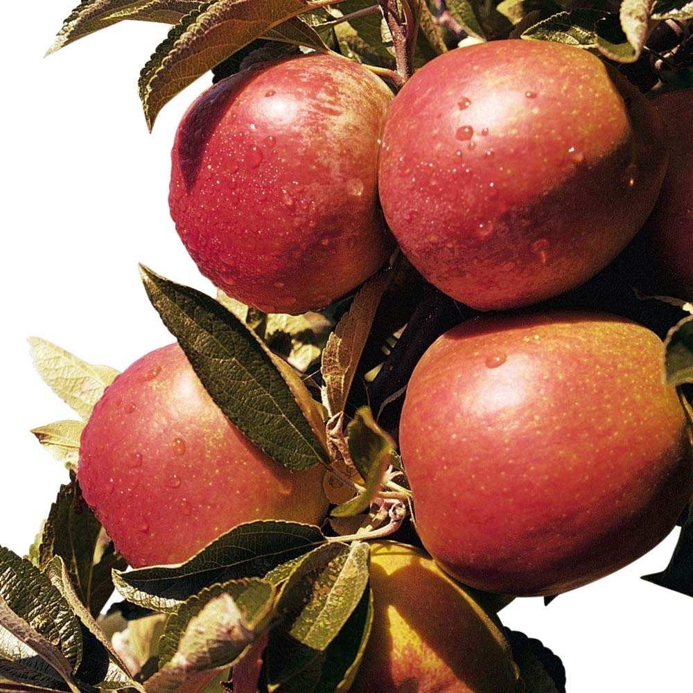 Dwarf Patio Fruit Tree- Apple- Variety Braeburn- Approx 1M Tall - Olive Grove