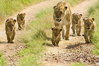 Image result for lion family