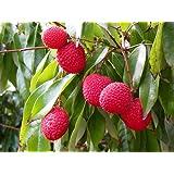 Nelesa Gardening Live Sweet Lychee Litchi Fruit Plant Healthy Plant