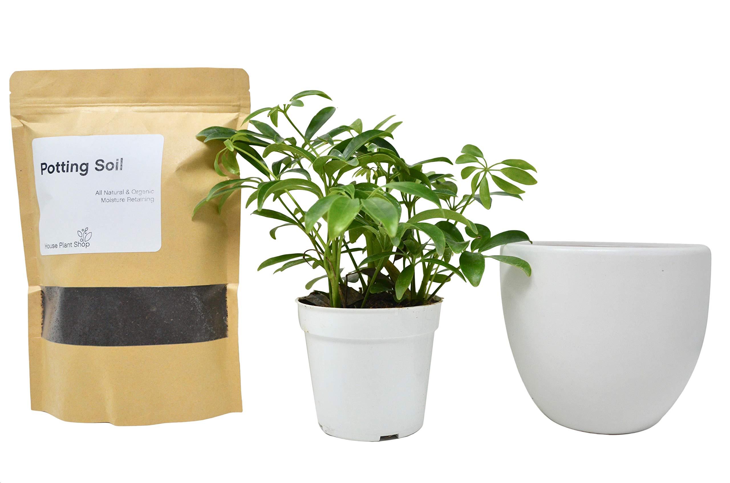 Schefflera Arboricola Kit with Ceramic Pot and Soil/Live House Plant / 6'' White Ceramic Pot