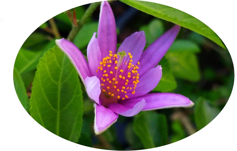 Amazon Com Lavender African Star Flower Crossberry Live Semi