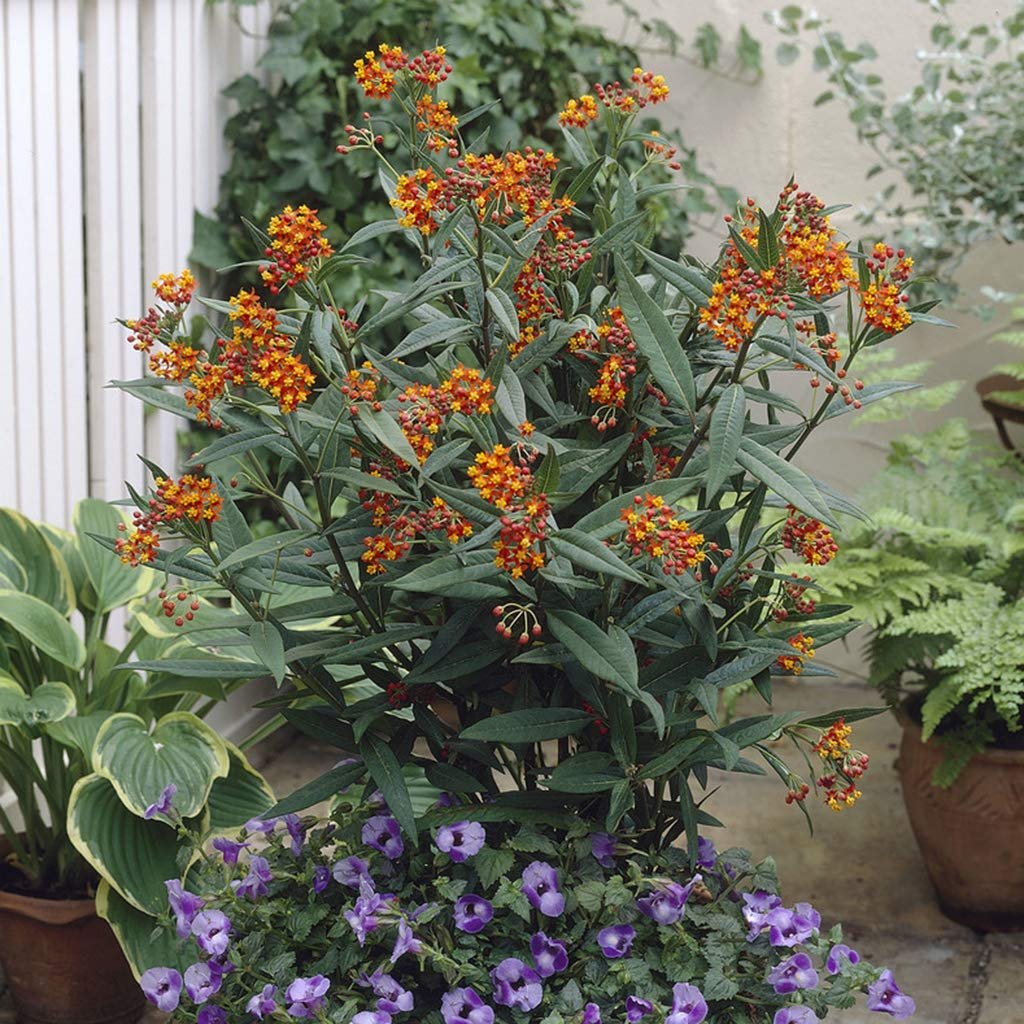 Van Zyverden 83740 Asclepias Gay Butterfly Mixture Support The Monarchs Set of 3 Roots Flowering-Plants #1 Mixed