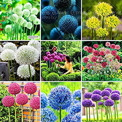 100 Purple Giant Allium Giganteum Beautiful Flower Seeds Garden Plant The  Budding Rate 95% Rare