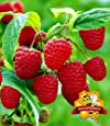BALDUR-Garten Himbeeren TwoTimer® Sugana® , 1 Pflanze, Rubus idaeus