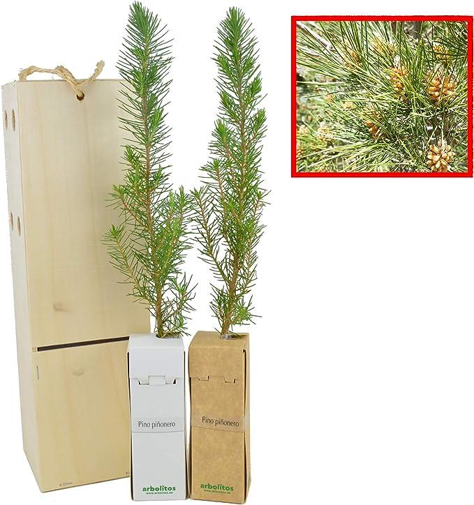 PINO PIÑONERO (pinus pinea) - Pino natural de 30-40 cms de altura ...
