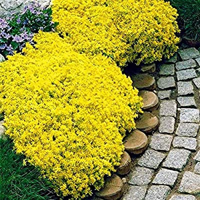LOadSEcr's Garden 10/20Pcs Rock Cress Seeds Non-GMO Ornamental Plants Yard Office Decoration, Open Pollinated Seeds - Yellow 20pcs Rock Cress Seeds : Garden & Outdoor