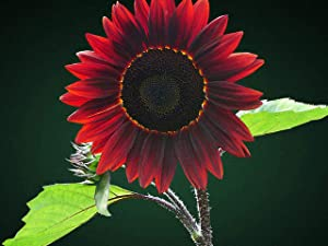 Chocolate Sunflower Seeds for Planting | 50 Pack of Seeds | Grow Exotic Chocolate Cherry Sunflowers | Rare Garden Seeds for Planting