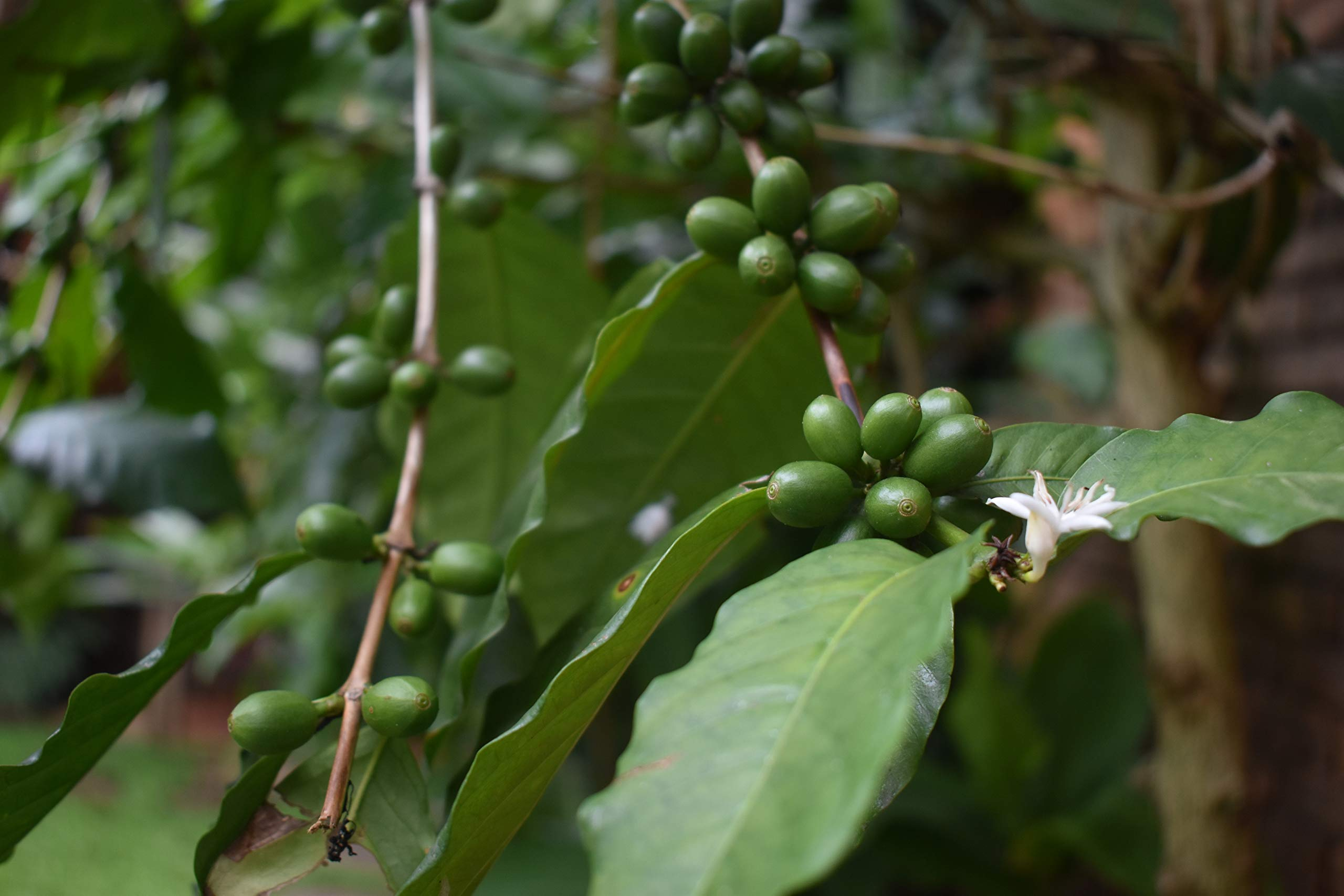 22 lbs BRAZIL SUL MINAS NATURAL PROCESS SPECIALTY AAA GREEN COFFEE by Invalsa Coffee (Image #7)
