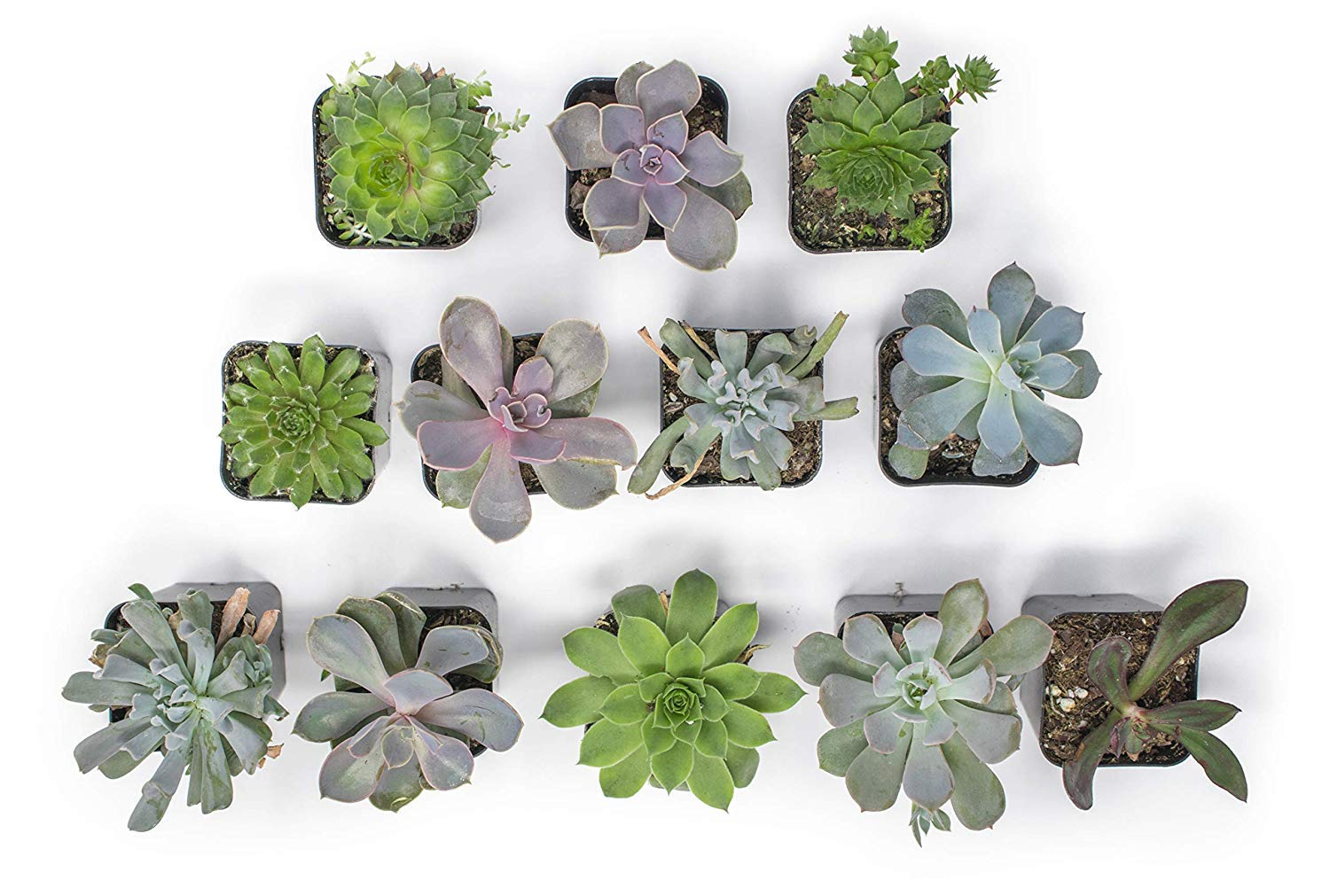 20 Live ''B-Grade'' Succulents | House Plants with Minor Flaws | Healthy Discounted Cheap Succulent Plants in Planter Pots with Soil by Plants for Pets by Plants for Pets (Image #7)