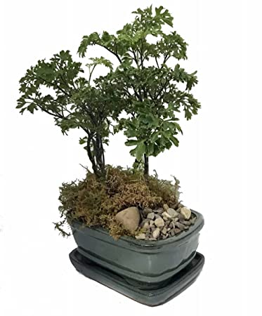 Amazon.com : Hirt\'s Ming Bonsai Tree with Decorative Stone ...