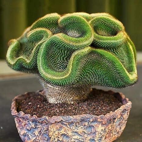 DeYL Semillas Plantas Semillas Planta Suculenta 100Pcs Mini Cactus Jardín de DIY Bonsai Balcón Decoración - 100 Piezas Cactus Semillas: Amazon.es: Deportes y aire libre