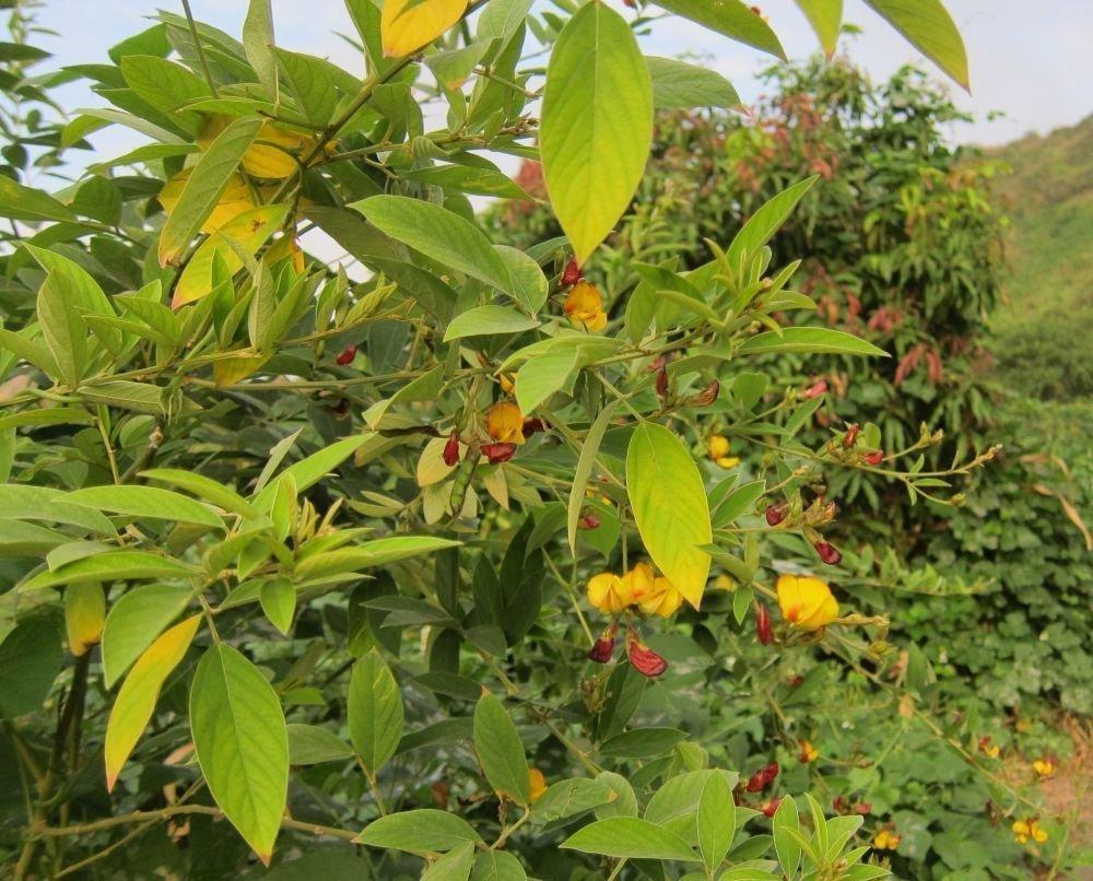 Pois Pigeon haricots Porto Rico Grandules Congo pois Jardin Graines de l/égumes